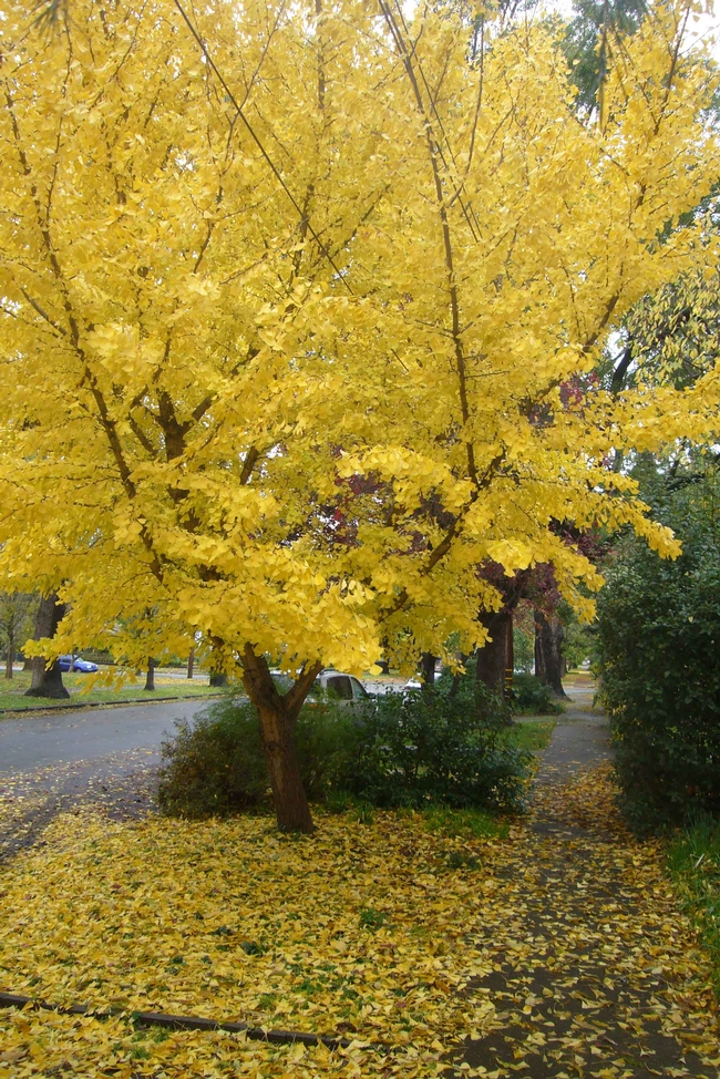 Ginkgo in fall by J.C. Lawrence