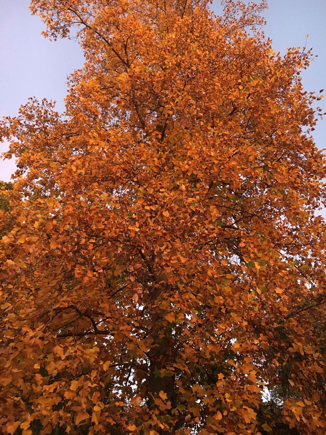 Chico fall foliage Liriodendron (tulip tree) by Joyce Hill