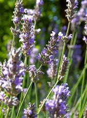 Lavender flower bracts, UC ANR