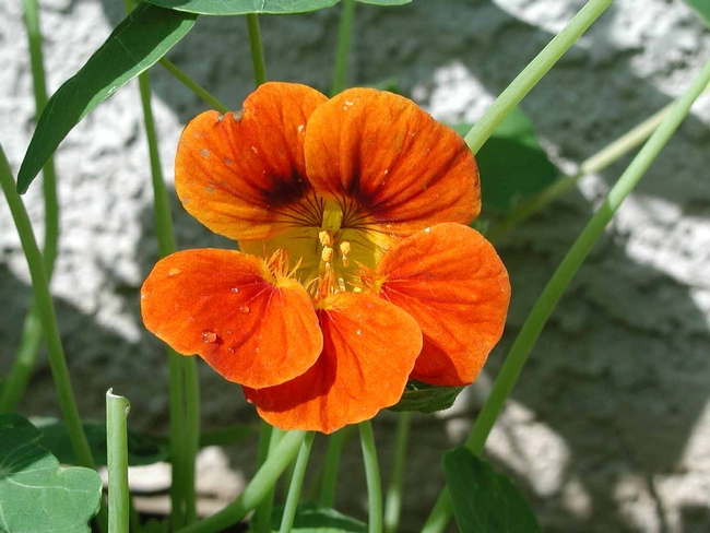 Orange nasturtium (Tropaeolum majus) by Cheryl Reynolds, UC IPM