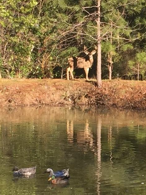 Deer at pond by Kim Schwind