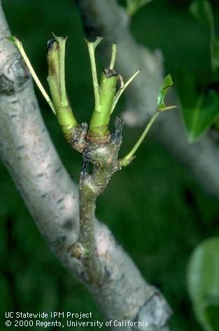 Foliage damage by UC IPM