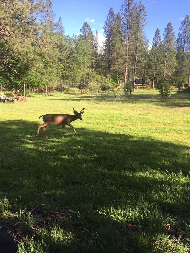 Deer by Kim Schwind