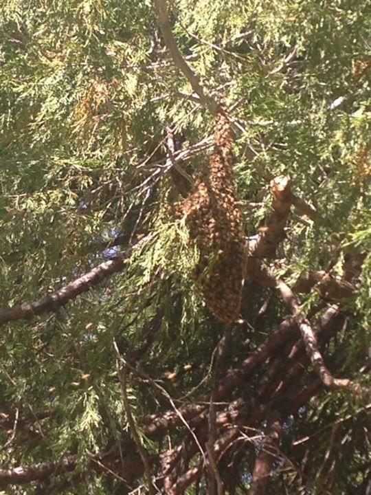 Bee swarm in cedar, Kim Schwind
