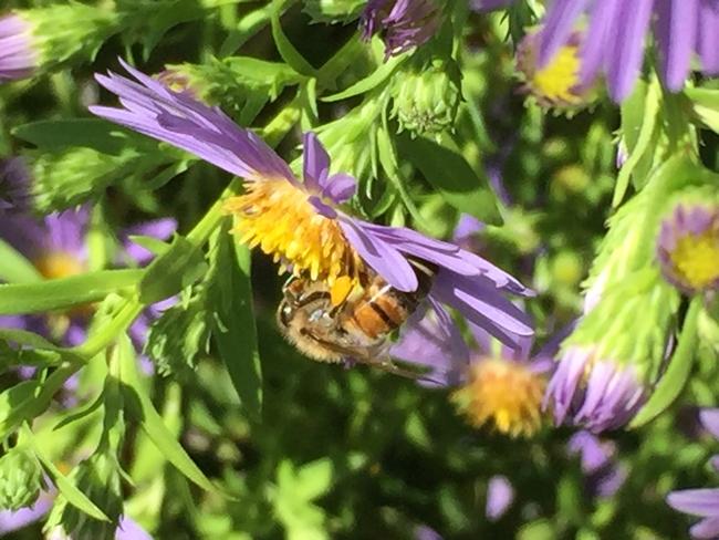 Honeybee on aster, Kim Schwind