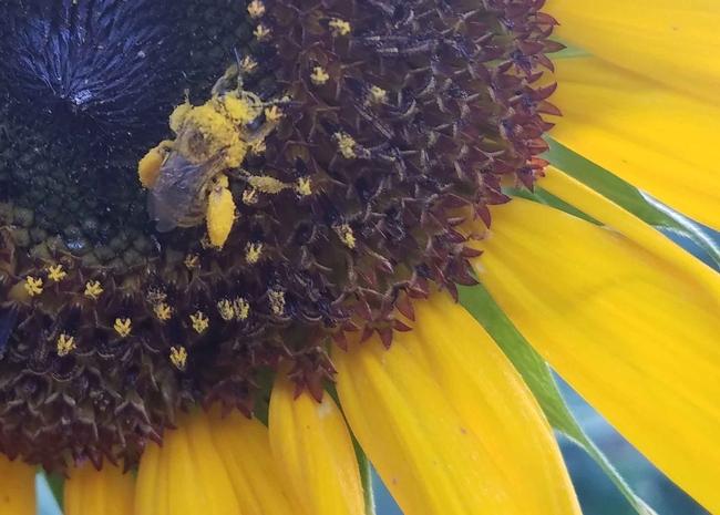 Honeybee covered in pollen, J Alosi