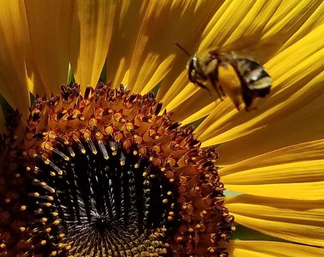Bee flying to sunflower, J Alosi