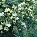 Elderberry flowers, Mike Flanner