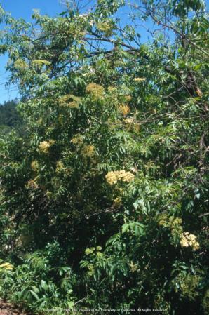 Blue elderberry, UC ANR