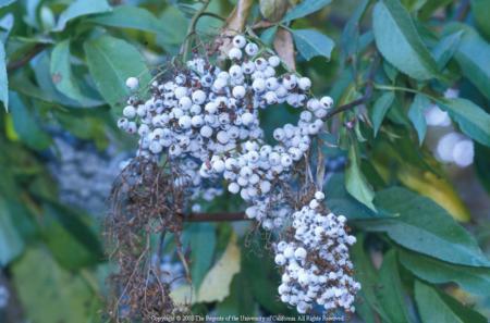 Blue elderberry berries, UC ANR