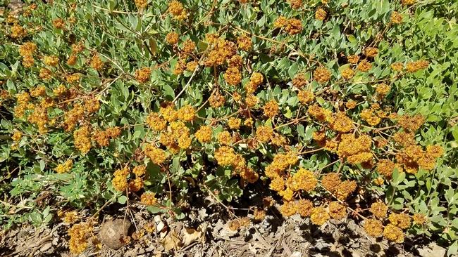 Sulfur buckwheat (eriogonum umbellatum) dried flowers, J. Alosi