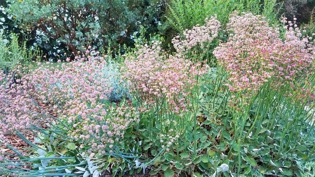 Red buckwheat (eriogonum grande v. rubescens), J. Alosi