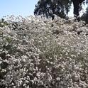 California buckwheat flowers sit atop slender, flexible stems, Laura Lukes