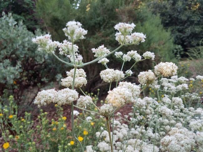 California buckwheat flowers, J. Alosi