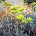 Buckwheat - E. umbellatum, Demonstration Garden, Laura Lukes
