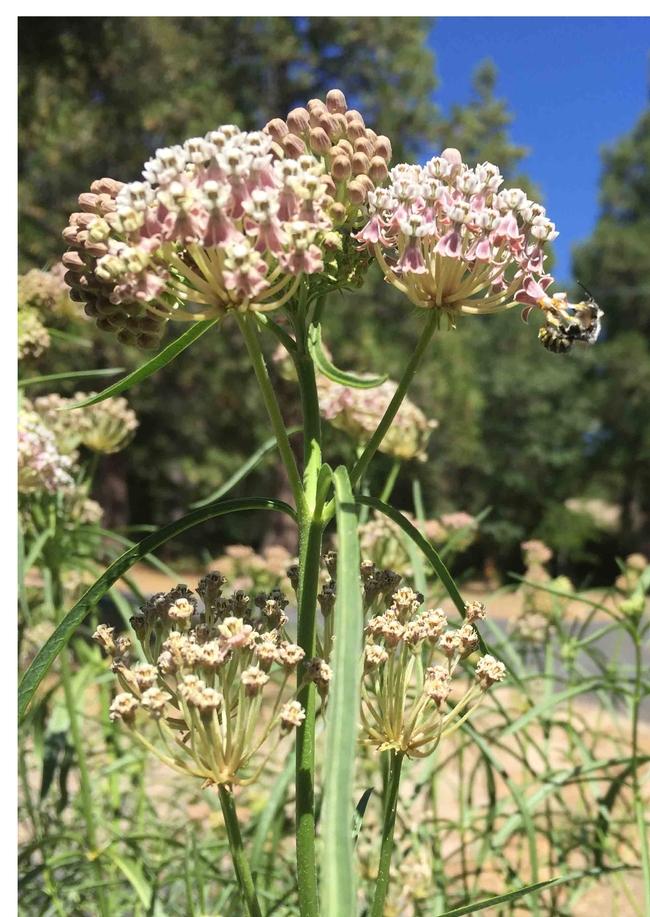 Narrow leaf milkweed, A fascicularis, Kim Schwind