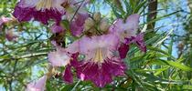 Desert Willow blooms, Laura Kling for The Real Dirt Blog Blog