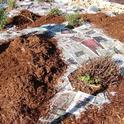 Sheet mulching around existing plants, Eve Werner