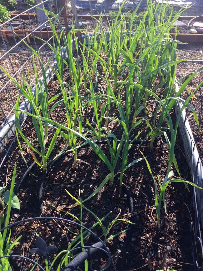 Garlic growing in raised bed, Kim Schwind