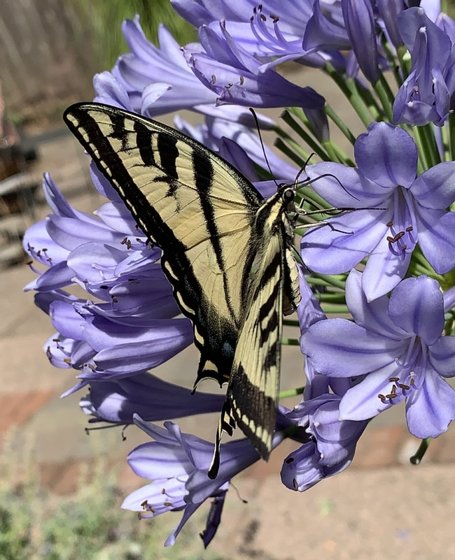 Swallowtail butterfly on Agapanthus, Laura Kling
