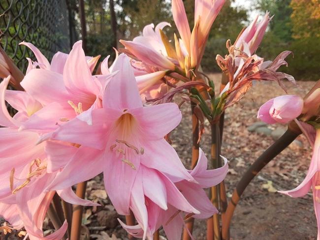 Amaryllis belladonna. Laura Lukes