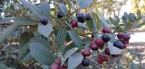 Eva Case coffeeberry berries (Frangula californica), J. Alosi for The Real Dirt Blog Blog