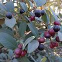 Eva Case coffeeberry berries (Frangula californica), J. Alosi