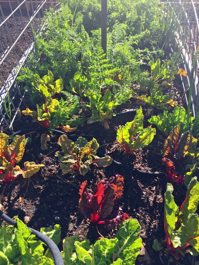 Chard and carrots in raised bed, Kim Schwind