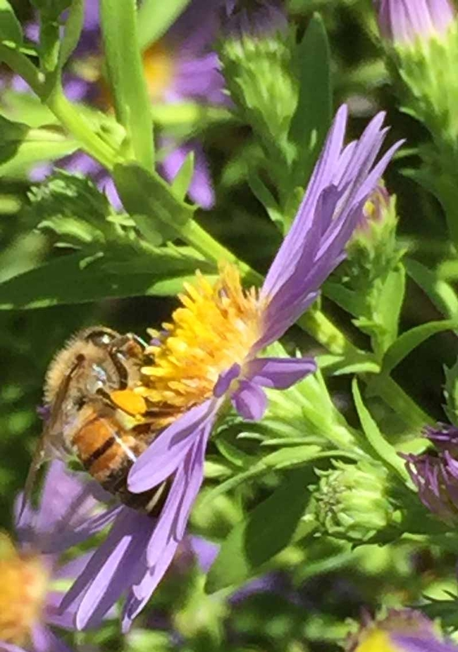 Honey bee on aster, Kim Schwind