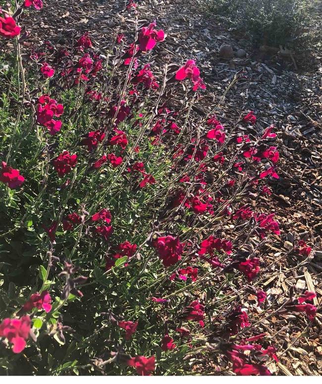 Salvia greggii, Ellen Michels
