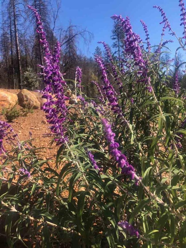 Salvia leucantha, Ellen Michels