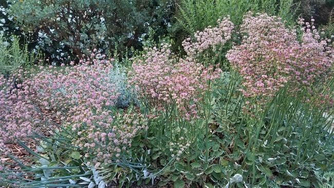 Red buckwheat patch, J. Alosi
