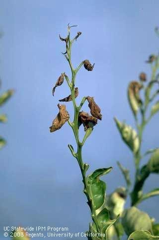 Citrus leaves killed by frost, UC IMP Program