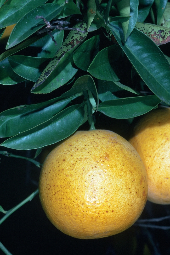 Brown stippling of grapefruit rind caused by frost, Jack Kelly Clark, UC IMP Program