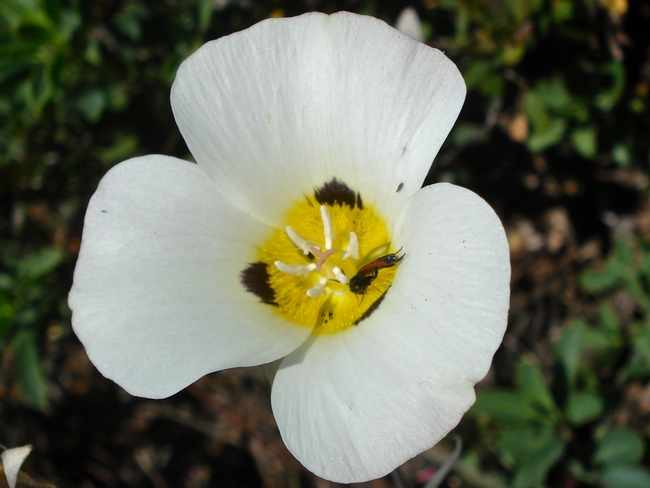 Mariposa lily, Brent McGhie