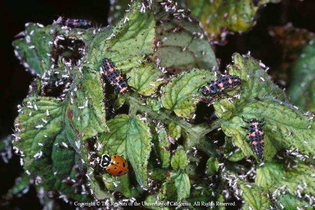 Lady beetle adult with several lady beetle larvae, UC Regents