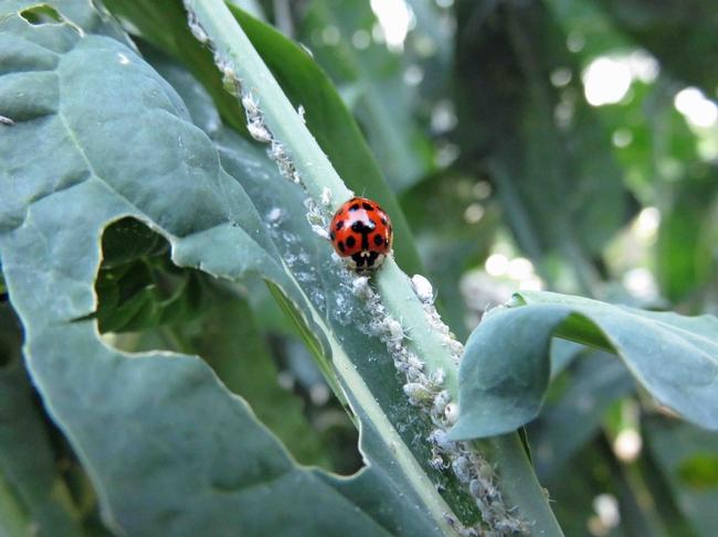 Ladybug munching on aphids, Jeanette Alosi