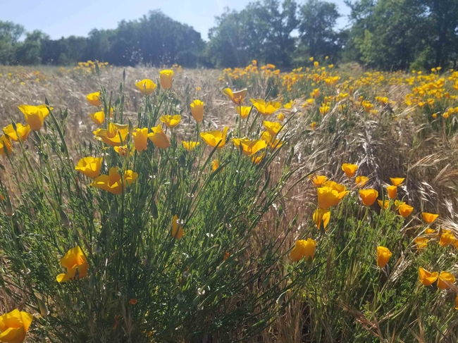 Poppy with flowers and seed pods at Verbena Fields, April Mangino