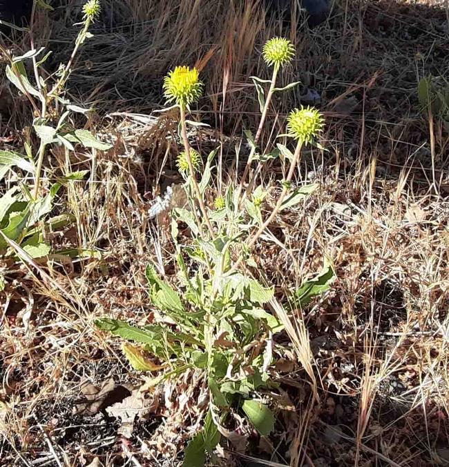 The spiky orb seedhead of grindelia, Laura Lukes