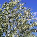 Cottonwwood and seeds pods, April Mangino
