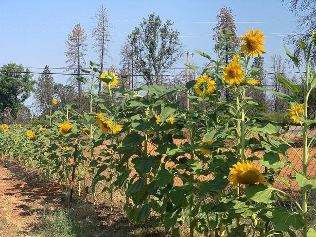 Allison's sunflowers in Paradise, Debi Durham