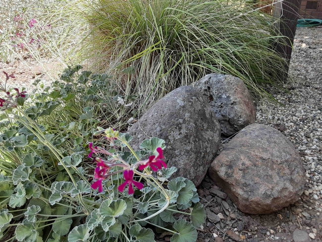 Landscape with drought resistant plants and accent rocks, Laura Lukes