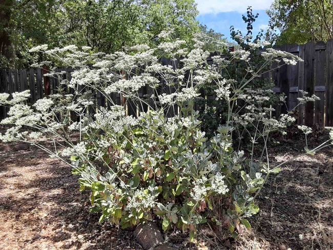 Buckwheat featured in landscape with drought resistant natives, Laura Lukes