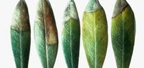 Potassium deficiency in olive leaves, UC Regents for The Real Dirt Blog Blog
