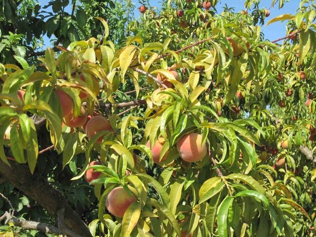 Severe potassium deficiency in peach, UC ANR