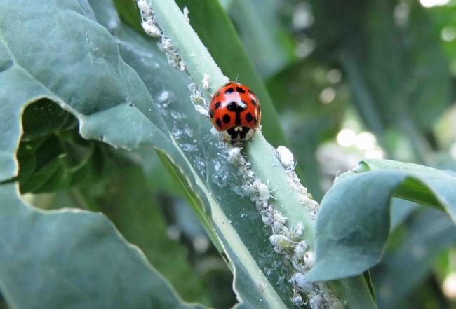Lady beetle munching on aphids, J. Alosi