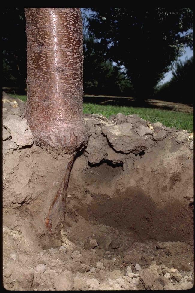 Tree roots eaten by pocket gopher, Jack Kelly Clark, UC IPM