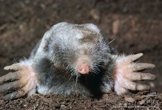 Broad-footed mole, Jerry P. Clark, UC IPM