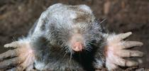 Broad-footed mole, Jerry P. Clark, UC IPM for The Real Dirt Blog Blog