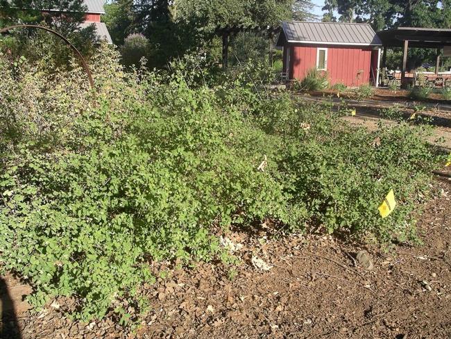 Snowberry thicket provides wildlife habitat, Cindy Weiner
